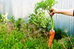 Carrots in hand Stock Images
