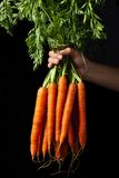 Carrots in the hand Royalty Free Stock Image