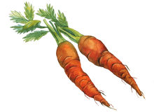 Carrots. Hand drawn watercolor painting Stock Image