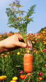 Carrots in hand. Hand holding fresh carrots on flower garden  background Stock Photo