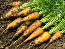 Carrots harvest. Some carrots with leaves on the ground Stock Image
