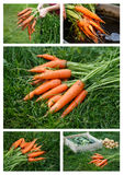 Carrots harvesting Royalty Free Stock Image