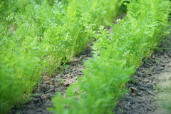 Carrots herb stock image