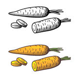 Carrots illustration Stock Image