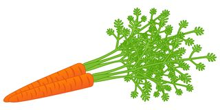 Carrots with leaves. Illustration of carrots with leaves. Isolated on a white background Royalty Free Stock Photos