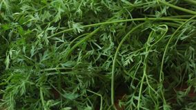 Carrots with leaves. A group of carrots with green leaves on a wooden board , natural light stock footage