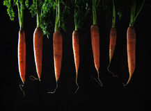Carrots with leaves hanging in a row against a dark brown backgr Stock Image