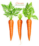 Carrots with leaves Royalty Free Stock Images