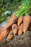 Carrots lies on the edge of the field Royalty Free Stock Images