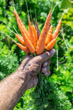 Carrots  in man's hand. Royalty Free Stock Image