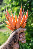 Carrots  in man's hand. Stock Image