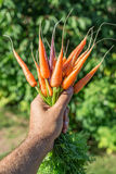 Carrots  in man's hand. Royalty Free Stock Photo