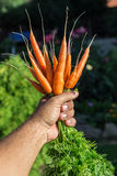 Carrots  in man's hand. Royalty Free Stock Photography