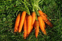 Carrots in meadow Royalty Free Stock Images
