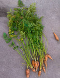 Carrots in our garden in China. We grow carrots in our garden Stock Photos