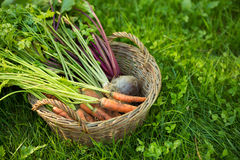 Carrots, parsleys and beetroots in basket Stock Photography