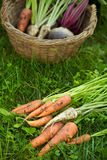 carrots, parsleys and beetroots outdoors Stock Images