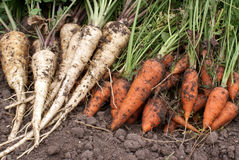 Carrots and parsnip Stock Photo