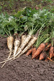 Carrots and parsnip Stock Photography