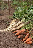 Carrots and parsnip Royalty Free Stock Photography