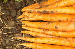 Carrots in a pile Stock Image