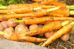 Carrots and potatoes in a pile Stock Images