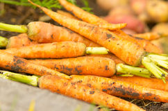 Carrots and potatoes in a pile Royalty Free Stock Images