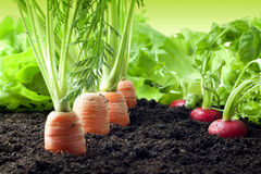 Carrots and radish growing in the garden. Organic carrots and radish growing in the garden Royalty Free Stock Photos