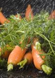 The carrots & rain Royalty Free Stock Photo