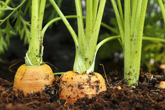 Carrots in raised garden bed. Photo shows a close up of carrots in raised garden bed Royalty Free Stock Photo