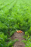 Carrots are ready for harvesting. Carrot field with harvest of carrots Royalty Free Stock Images