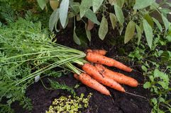 Carrots and sage,. Carrots fresh from the garden on the soil by a sage plant Stock Photos