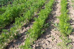Carrots seedlings rows organic. Carrot seedlings planted in rows in an organic garden stock images