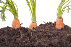 Carrots in soil Royalty Free Stock Photo