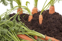 Carrots in soil Stock Photography