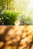 Carrots sprouts on a sunny day royalty free stock image