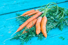 Carrots with tops of vegetable beam on a blue wooden background Stock Image