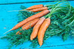 Carrots with tops of vegetable beam on a blue wooden background Stock Images