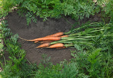 Carrots on vegetable bed Stock Images