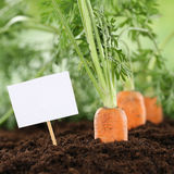 Carrots in vegetable garden or field with copyspace Stock Photos