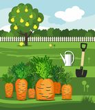 Carrots, vegetable garden, shovel and pear. Vector illustration with the image of a vegetable garden, rows of carrots, watering can, shovel and wood office Stock Image