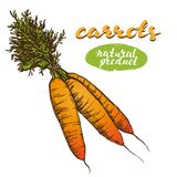 Carrots vegetable set hand drawn vector illustration realistic sketch Royalty Free Stock Photography