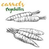 Carrots vegetable set hand drawn vector illustration realistic sketch Stock Image