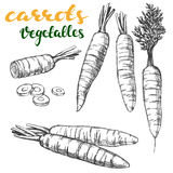 Carrots vegetable set hand drawn vector illustration realistic sketch Stock Photography
