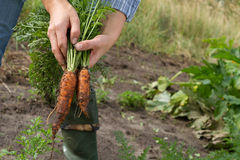 Carrots in woman's hands Royalty Free Stock Image