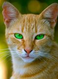 A carroty cat with green eyes. A green eyed carroty cat head Royalty Free Stock Photos