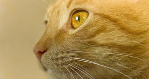 Carroty cat Stock Photos