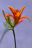 Carroty color day lily. Variety day lily flower on sunshine Stock Images