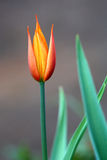 Carroty color tulip. Portrait close up Stock Photos