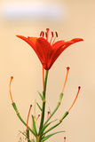 Carroy lily Stock Photography